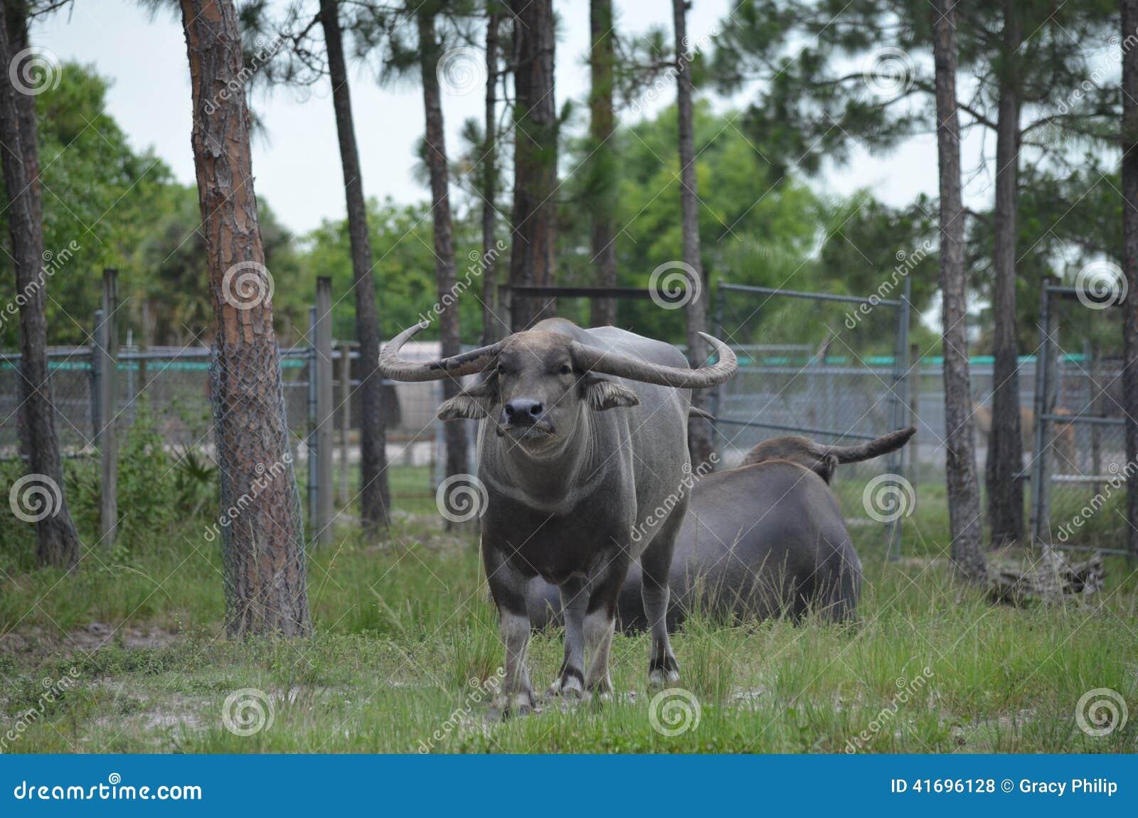 Built For Bull Buffalo Alpha Looking