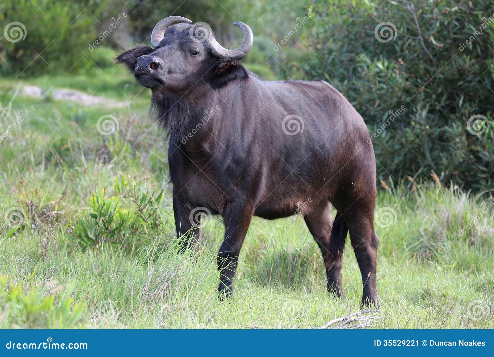 For Alpha Buffalo Looking Bull