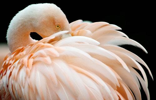 Frankfurt Gay Flamingo